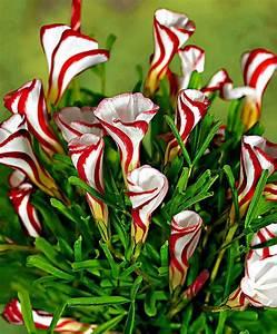Oxalis versicolor kaufen Bakker com