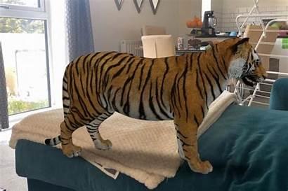 Google Animali Tiger Animals Casa Tigers Lions