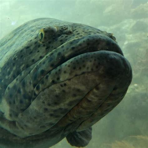 grouper goliath aquarium frost science behemoth meet its true fish