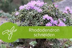 Pflanzen Schneiden Kalender : rhododendron schneiden 3 schnitte f r den bl tenstrauch ~ Orissabook.com Haus und Dekorationen