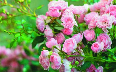 Kā pareizi uzpotēt rozi? — Santa   Volkswagen touareg, Bmw ...