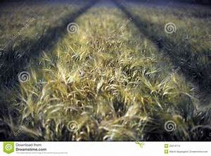 Wheat Field At Night Stock Images - Image: 25214114
