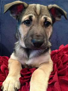 American Bulldog German Shepard Mix | pets | Pinterest ...