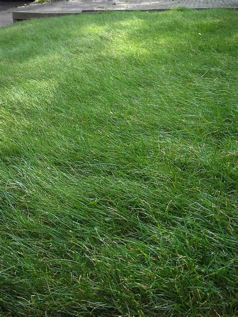types of fescue grass fescue lawn grass types decor references
