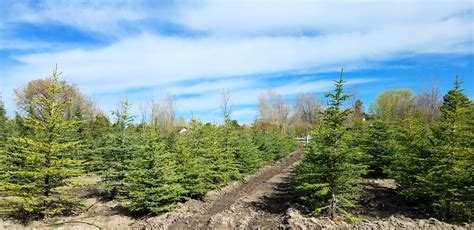 christmas tree farms in utah willowcreek tree farms