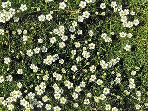 Unkraut Weiße Blüte : sternmoos 39 irish moos 39 sagina subulata 39 irish moos ~ Lizthompson.info Haus und Dekorationen
