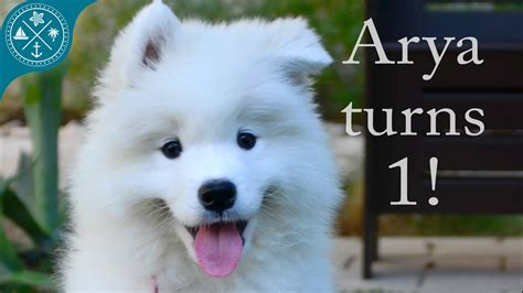 The Cutest Samoyed Puppy Ever Arya Turns 1 Year Old