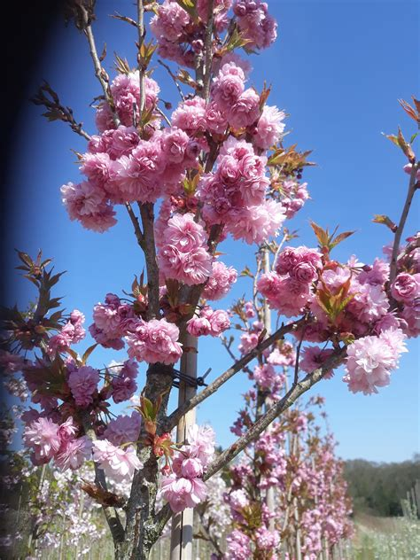 Prunus (Flowering Cherry)