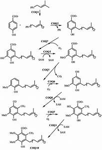 Coenzyme Q10 Biosynthesis  After 4