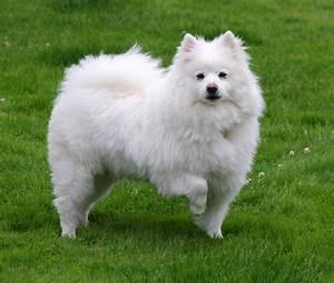 American Eskimo Dog - Wikipedia