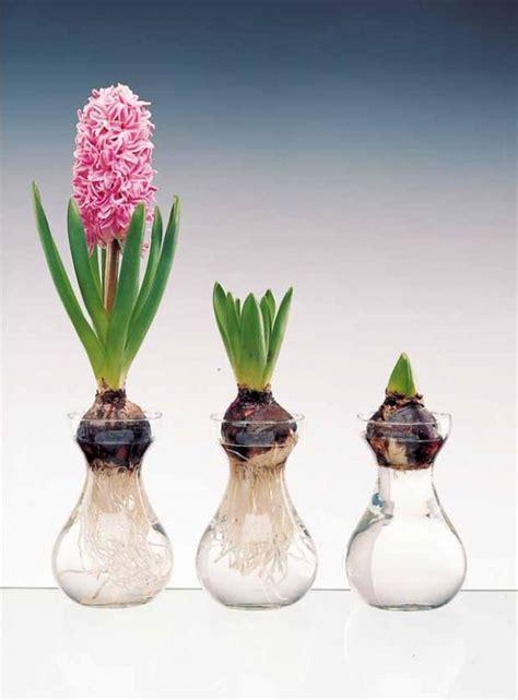 culture des jacinthes en pot culture hydroponique c 244 t 233 jardin