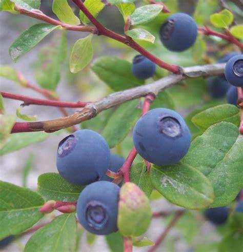 cuisine america huckleberry