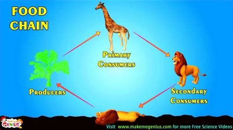 food chains food webs energy pyramid education video