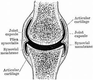 Diarthrodial Joint