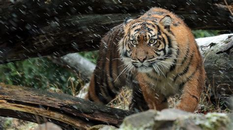 Hd Wallpapers Animals Tigers - sumatran tiger 4k wallpapers hd wallpapers id 19599
