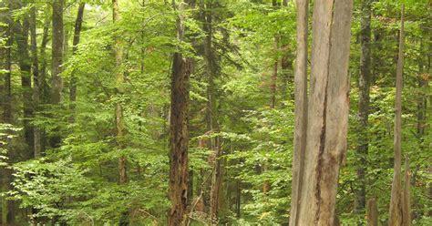 ancient  primeval beech forests   carpathians