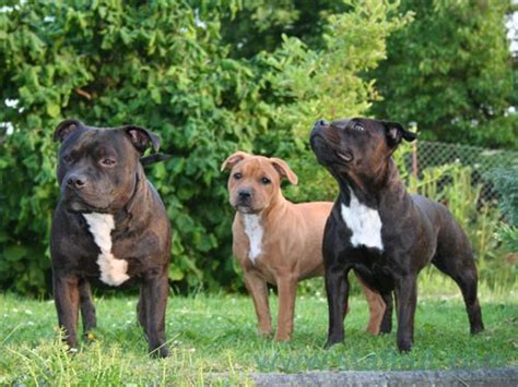 staffy pictures wallpapers gallery