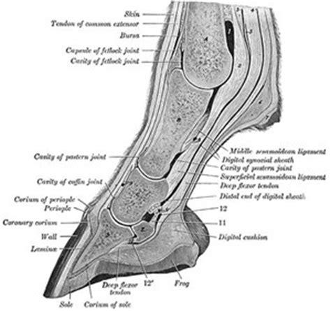 anatomical adaptation  cursorial locomotion designed