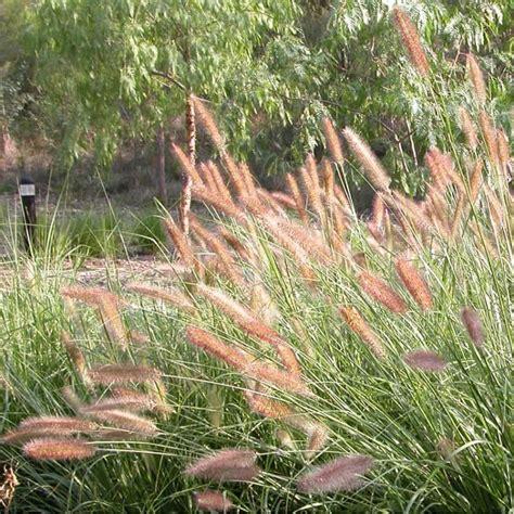 Buy Purple Lea ®  A Large Purple Flowering Native Grass