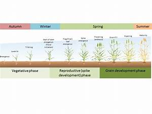 Wheat Phenology And The Drivers For Yield In The High