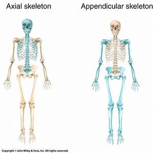 Appendicular Skeleton And Axial