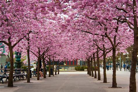 cherry blossoms  kungstraedgarden stockholm sweden