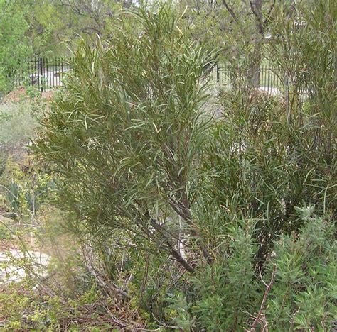 vauquelinia corymbosa angustifolia high plains gardening