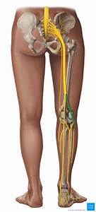 Common Fibular Nerve  Peroneal   Anatomy And Innervation