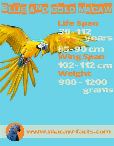 macaw lifespan blue and gold macaw lifespan weight size wingspan macaw facts