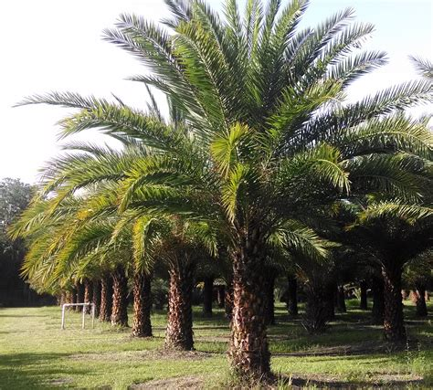 Sylvester Palm Tree Hardy Palm Tree Farm