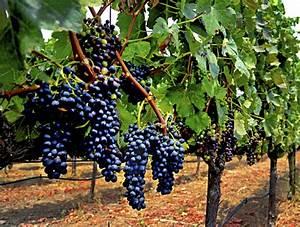 Piante uva ilvitigno it