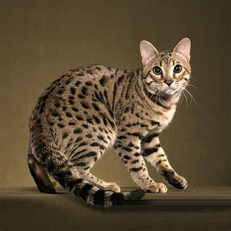 50+ Most Amazing Bengal Cat Pictures Golfiancom