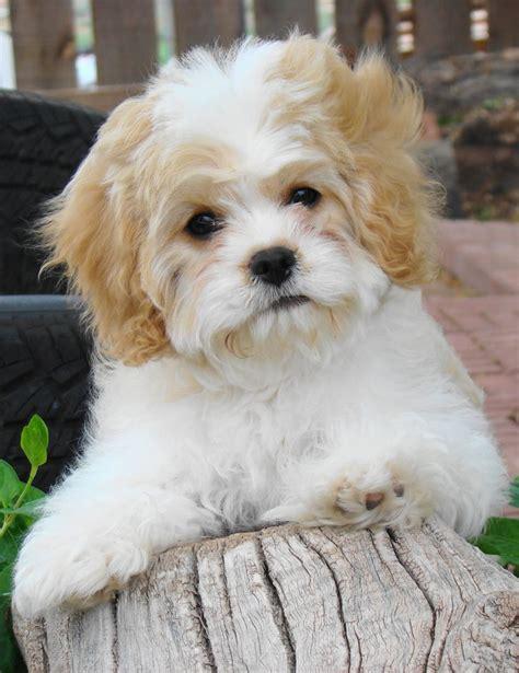 Cavachon, Puppies,hybrids, Non  Shedding, Cavachon