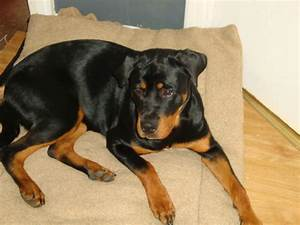 For sale Female Rottweiler | Sleaford, Lincolnshire ...