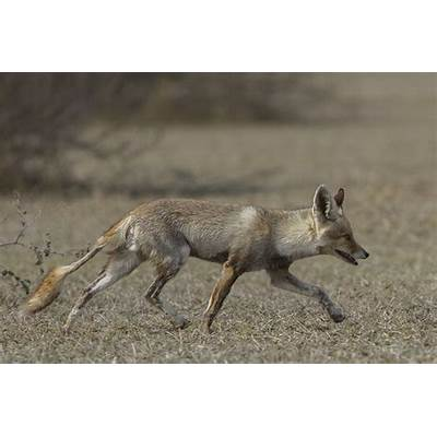 File:Indian Desert Fox (Vulpes vulpes pusilla) Tal Chappar