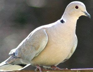grey dove with black ring around neck 8 best doves pigeons images on birds colorful birds and backyard birds