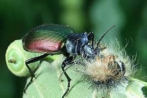 Großer Schwarzer Käfer Bilder : insektenbox gro er puppenr uber 2 ~ Frokenaadalensverden.com Haus und Dekorationen