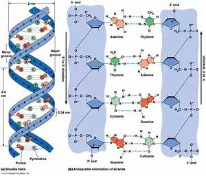Is Dna Made Up Of Two Polymer Structures Or One