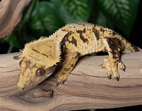 Halloween Crested Gecko Morph by Harlequin Crested Gecko Www Pixshark Com Images