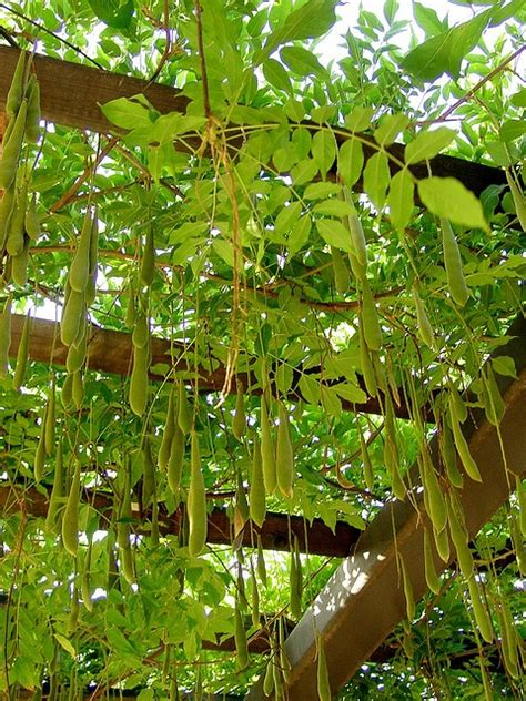 wisteria seed pods how to grow plants vines with pods bing images