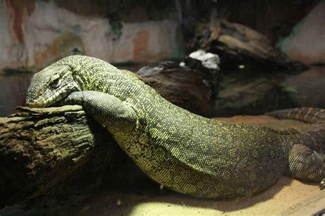 nile monitor nile monitor lizard 20100220 004033 83103 jpg 1600 215 1067 amphibians reptiles pinterest