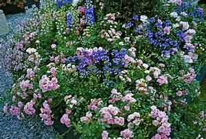 Pflanzkübel Für Rosen : rosenbeet die sch nsten begleitpflanzen im berblick ~ A.2002-acura-tl-radio.info Haus und Dekorationen