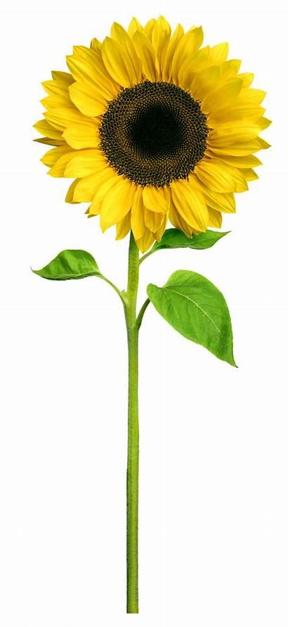 Sunflower Sunflowers Tall Clipart Flower Sun Planting