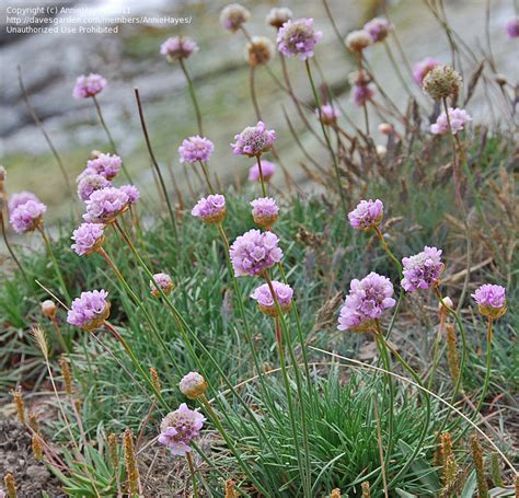 thrift plant plantfiles pictures sea thrift sea pink common thrift armeria maritima by anniesannuals