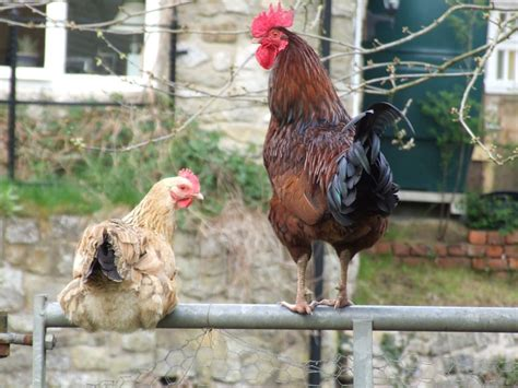 how do you cook capon chicken does a hen need a rooster to lay eggs