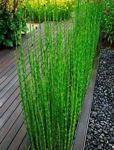 Plante De Bordure : une bordure d 39 equisetum japonicum pr le japonaise plante de bassin qui se pla t galement dans ~ Preciouscoupons.com Idées de Décoration