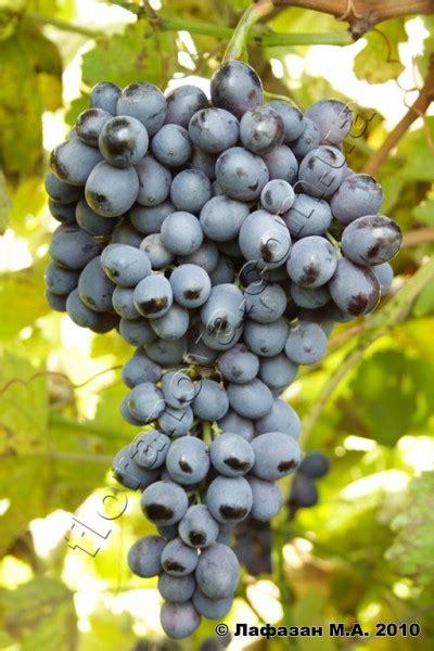 Сорт винограда идеальный фото и описание