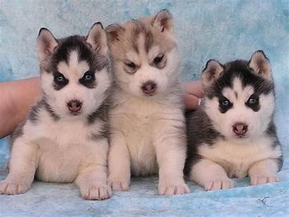 Husky Puppies Siberian Wallpapers Puppy Desktop Wolf