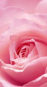 Light Pink Roses Wallpaper - WallpaperSafari