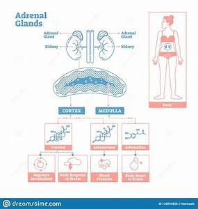 Adrenal Cartoons  Illustrations  U0026 Vector Stock Images